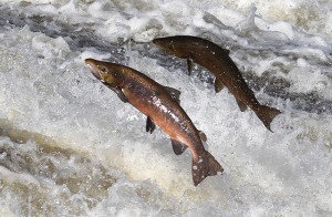 salmon-sperm